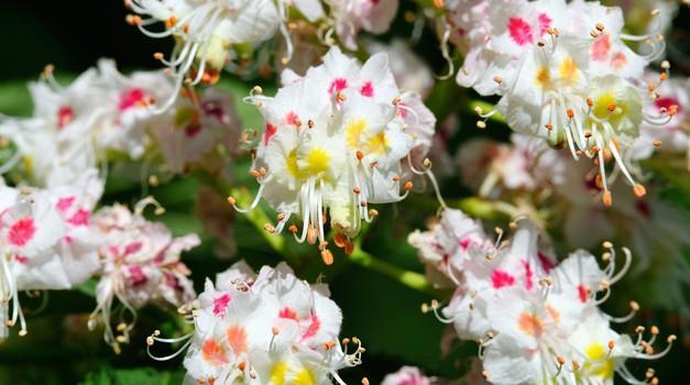 Beli kostanj - cvet mišljenja (foto: Shutterstock)