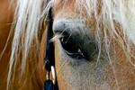 konj_oko