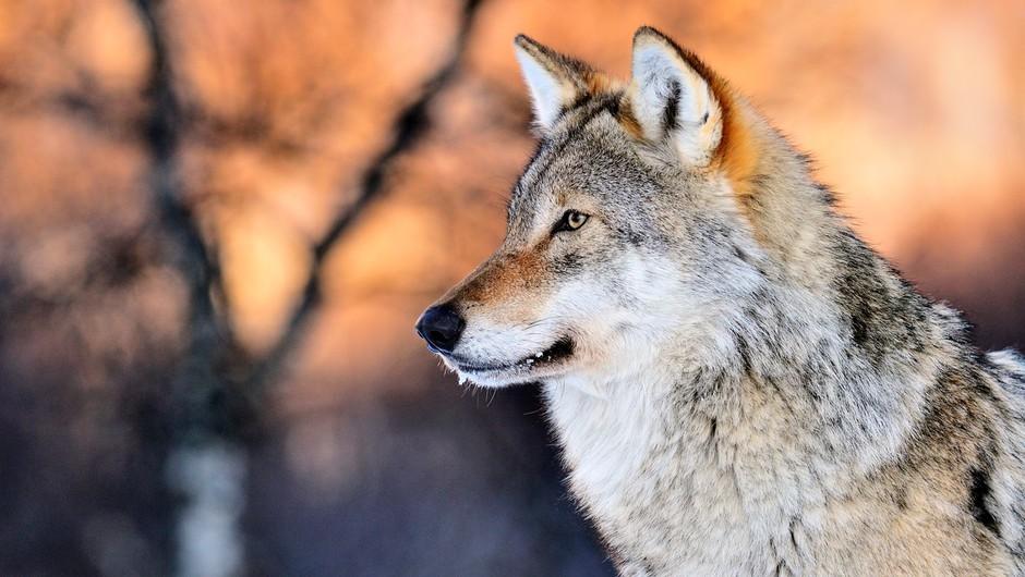 Volkovi kličejo na pomoč (foto: profimedia)