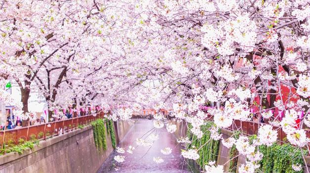 """Zakaj bi si morali privoščiti japonski """"Hanami"""" (foto: profimedia)"""