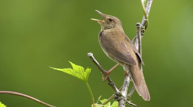 Dež ne ustavlja ptic, ki pojejo (foto: profimedia)