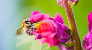 Moč čebeljega strupa pri pomlajevanju