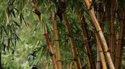 """Zgodba o bambusu: """"Vesolje, mi lahko daš tehten razlog, da ne obupam?"""""""