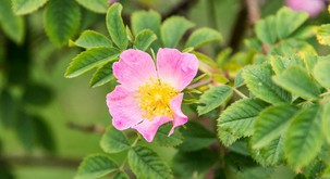 Divja vrtnica vam lahko pomaga, ko ste v stanju otopelosti, apatije in notranje praznine