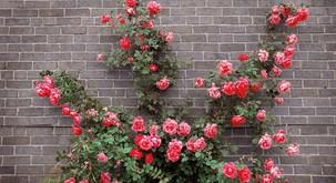 Življenje je kot grm vrtnic