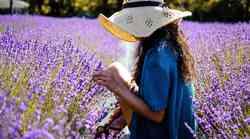 Vonj sivke z našega eteričnega telesa srka negativne energije