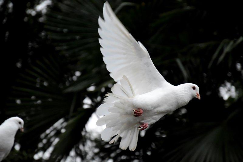 Golob simbolizira mir