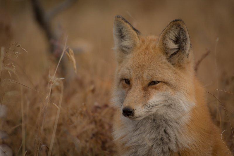 Lisica je izmuzljiva in iznajdljiva
