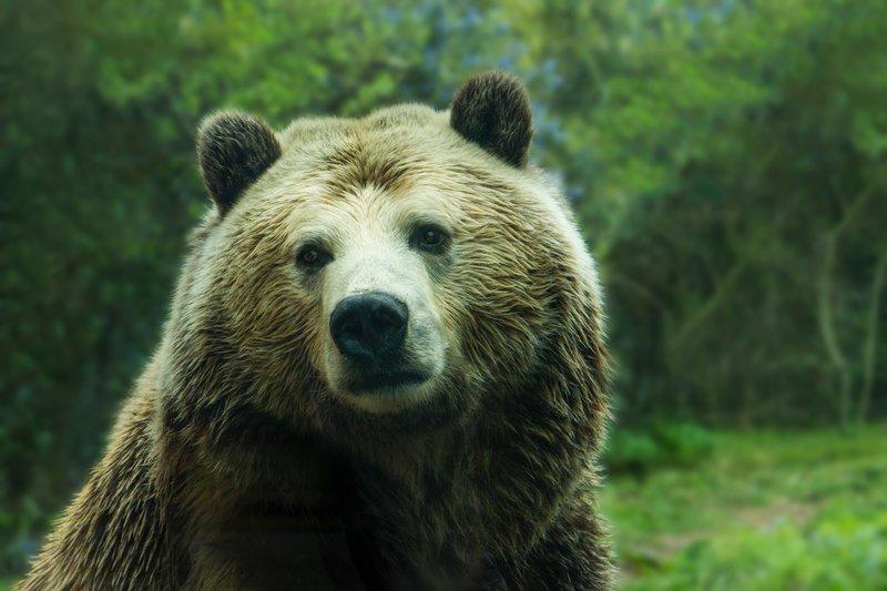 Medved simbolizira moč in pogum