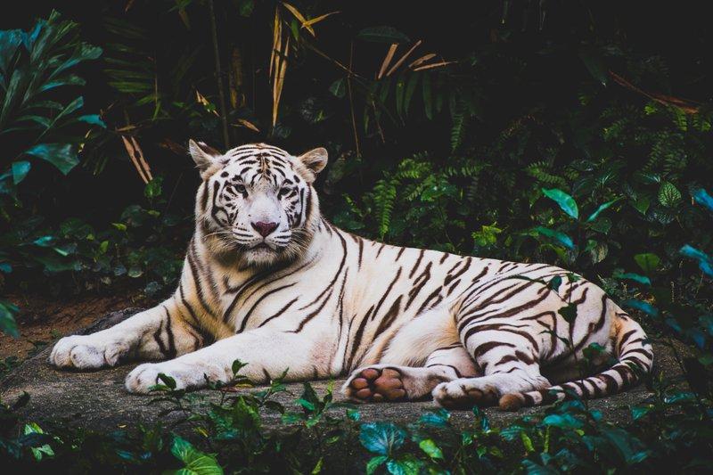 Tiger predstavlja moc in vitalnost
