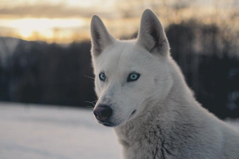 Volk se zanaša na svoj nagon