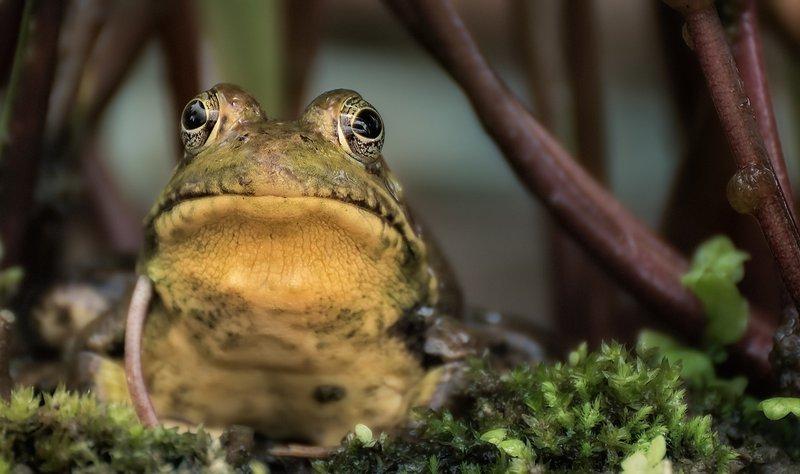 Žaba pomaga pri celjenju ran