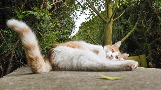 Kaj pomeni, če mačka maha z repom? (foto: pixabay)