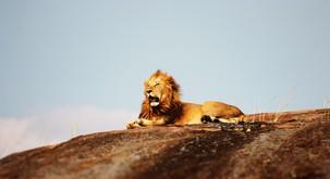 11 dobrih in slabih lastnosti leva