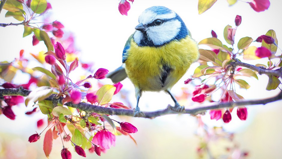 12. marec - Ptički se ženijo! (foto: pixabay)
