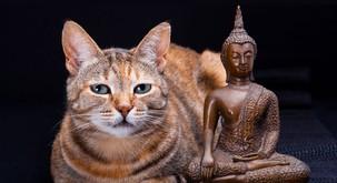 Mačke obvladajo budistične prakse