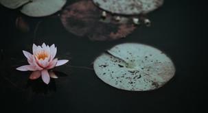 Sporočilo za današnji dan: Lotos raste iz blata