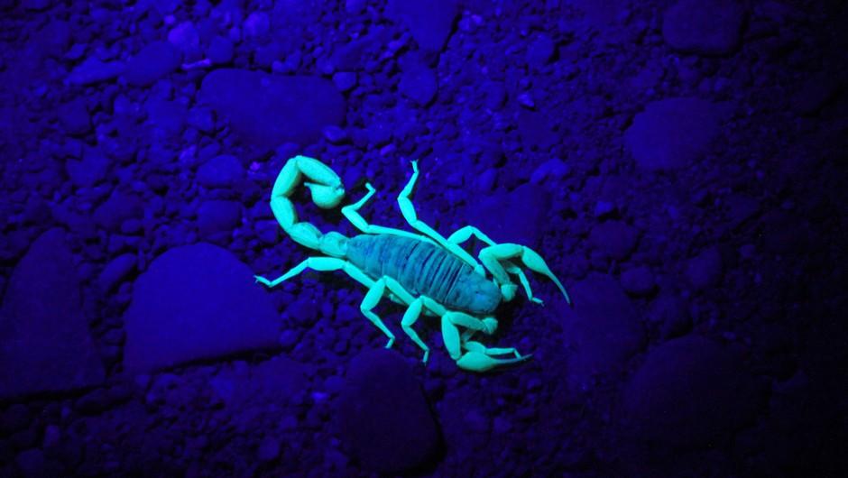 Temna plat škorpijona, ki pride včasih na plano (foto: unsplah)