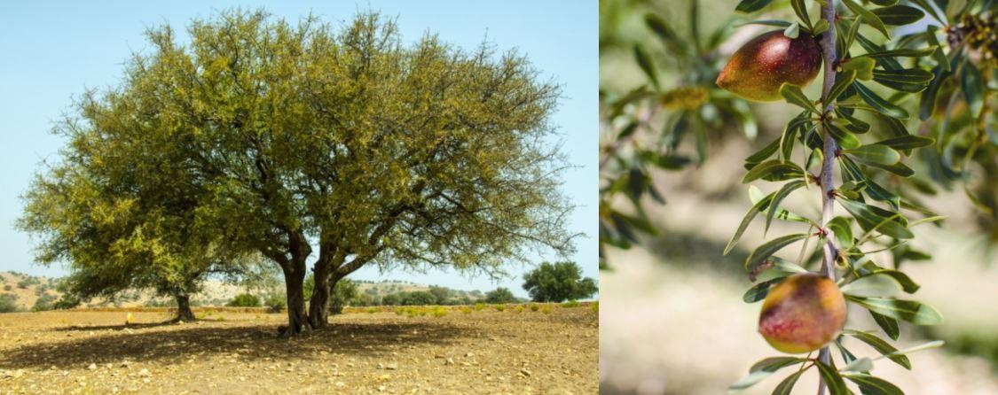 Arganovo drevo in arganova jedrca